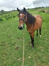 Cavalo macha picada de curto