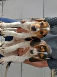 Título do anúncio: Beagle fotos reais filhote vacinado Vermífugado
