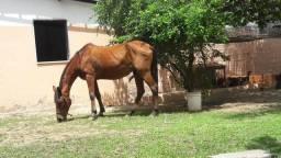 Linda égua mansa inglesa / quarta de milha