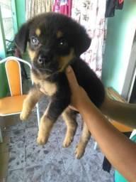 Rottweiler com labrador