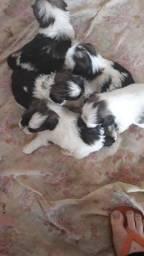 Lindos filhotes de Lhasa Apso