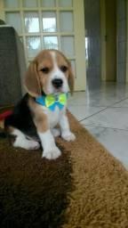 Beagle Filhotes Machos, menor da Raça!! Para quem busca qualidade e pureza!!!