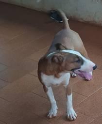 Bull Terrier em Patos de Minas- Leia com atenção o anúncio