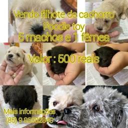 Vendo filhotes de cachorro poodle toy