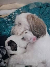 Filhotes de bulldog francês com shitzu