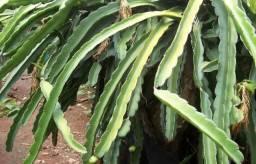 Pitaya mudas