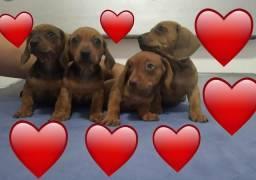 Basset Dauchihound filhotes