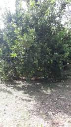 Vende-se uma chácara na transacreana km 26 ramal do Alberto 600 metros do asfalto