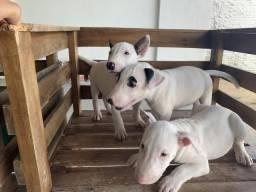Bull Terrier filhotes à venda