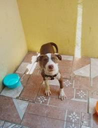 Pitbull macho dois meses e meio couro