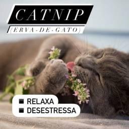 Catnip (erva de gato)