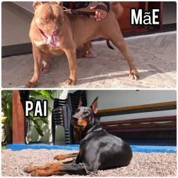Filhotes de pitbull com Doberman