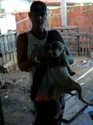 Pitbull Cachorro pitbull