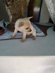 Chihuahua macho *leia todo o anúncio
