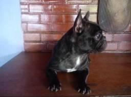 Casal de bulldog francês excelente para quem quer iniciar uma criação, cães com pedigree