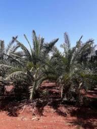 Palmeira Canariense direto do Uruguai