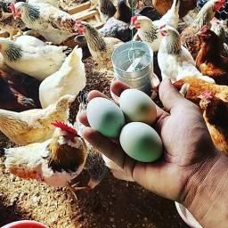 Ovos Azul Galados -Galinha GLZ