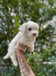 Maltês Lindo, o mais belo dos filhotes hoje com as melhores condições e pedigree