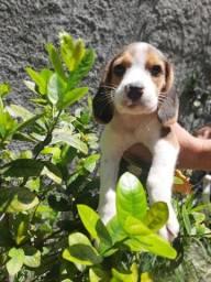 Canil Especializado na Raça Beagle Filhotes com Pedigree