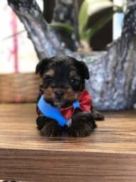 Lindo macho de yorkshire terrier