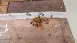Colmeia de abelha Jatai
