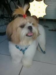 Shih tzu c/Poodle