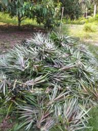Vendo mudas de abacaxi