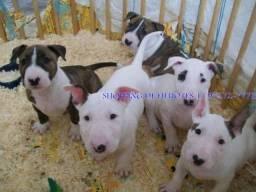 Bull Terrier Inglês todas as cores, garantia total de saúde em contrato