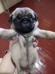 Pug mini filhote disponível