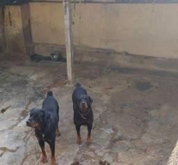 Título do anúncio:  Doação cachorro Rottweiler
