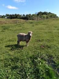 Vendesse carneiro com 6 meses.para reprodução ideal
