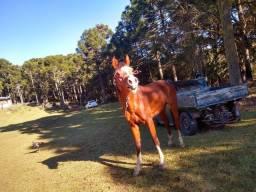 Cavalo Árabe manso