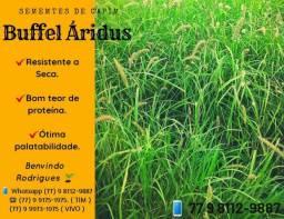 Capim Buffel Aridus