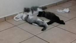 Gato persa topshow extremado blackblue