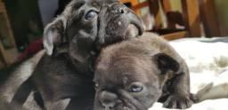 Bulldog francês fêmea