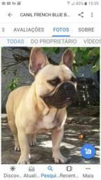 Bulldog francês. disponível. cruza ( inseminaçao)