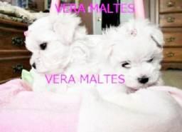 Maltes Fêmea Mini Maltês Micro