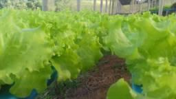 Alho poró e hortaliças hidropônicas