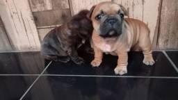 Vendo Filhote de Bulldog francês