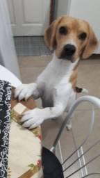 Beagle para cruz