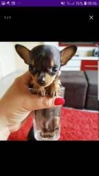 cachorro da marca pinscher tipo O ou 1