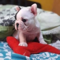 Título do anúncio: Filhote de Bulldog francês macho excelente linhagem !