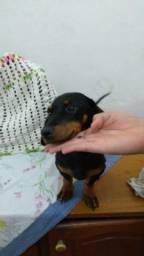 Título do anúncio: Filhote de Basset dachshund
