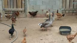 1 casal de ganso comum  e 20 angolinhas com 20 dias