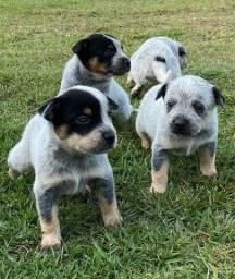Filhotes de Boiadeiro Australiano Pedigree Garantia Blue Heeler