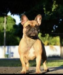 Vendo bulldog francês