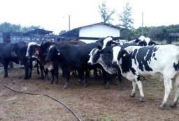 Vacas de leite Girolando