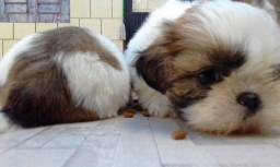 Shih Tzu mini,encantadores filhotes