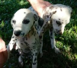Vendo dois filhotes Dalmatas