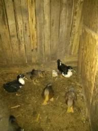 Casal de gansos e trio de marrecos
